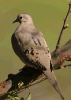 link to image dove_mourning_zenaida_macroura_tomgreer_1222.jpg