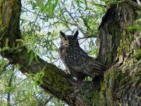 link to image owl_great_horned_bubo_virginianus_georgewhartwell_0620.jpg