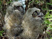 link to image owl_great_horned_chicks_bubo_virginianus_georgewhartwell_0619.jpg
