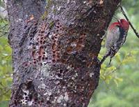 link to image sapsucker_redbreasted_sphyrapicus_ruber_kimcabrera_0323.jpg